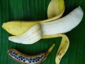 Wild banana and GMO